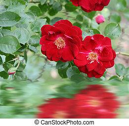 мини, roses