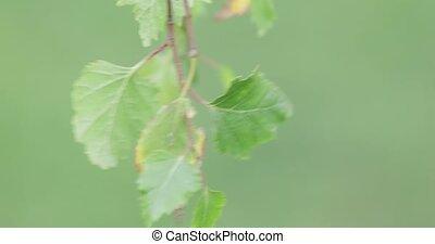 молодой, дерево, береза, leaves