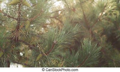 молодой, сосна, филиал, конус, дерево, зеленый