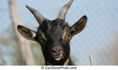 морда, природа, вверх, молодой, веселая, черный, закрыть, козел, посмотреть