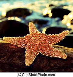 морская звезда, на, камень