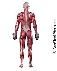 мужской, система, мускулистый
