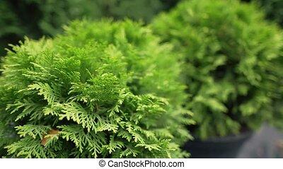 мяч, вечнозеленый, ферма, хвойный, растение, thuja, thuja., ...