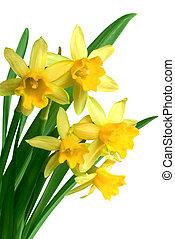 нарцисс, весна, желтый