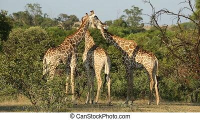 натуральный, естественная среда, giraffes