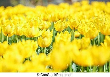 натуральный, тюльпан, весна, желтый, поле, свежий, цветы