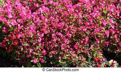 натуральный, outdoor., крошечный, background., красный, blooming, белый, абстрактные, blooms