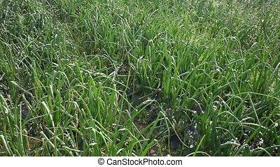 на открытом воздухе, сад, нет, лук, зеленый, уборка урожая, люди, rows