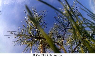 небо, солнечно, дерево, против, сосна, день