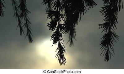 небо, темно, сосна, дерево