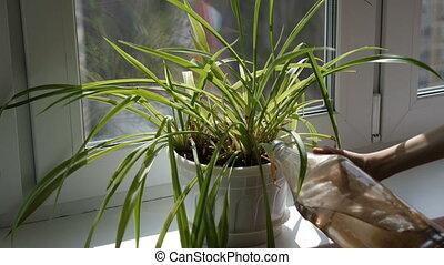 немного, полив, девушка, растение