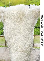овца, белый, мех, curled