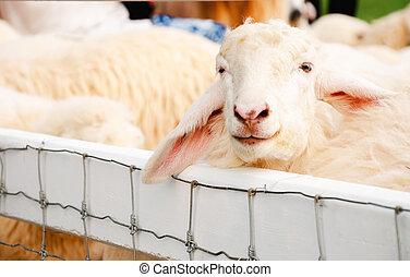 овца, постоянный, в, ручка