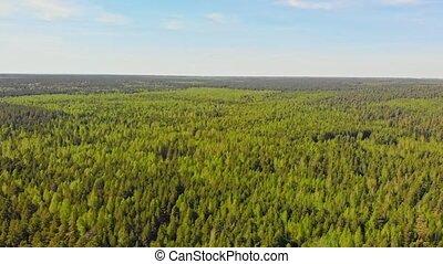 огромный, хвойный, заросли, лес