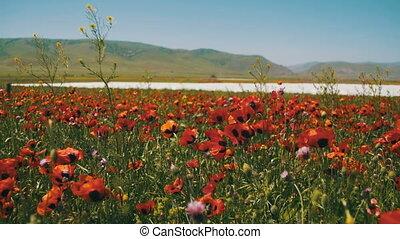 огромный, blossoms, mountains, swaying, поле, красный, задний план, poppies, ветер