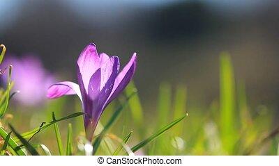 одинокий, фиолетовый, grows, крокус