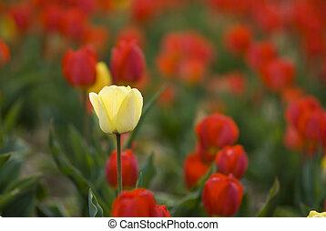 один, красный, желтый, поле, тюльпан