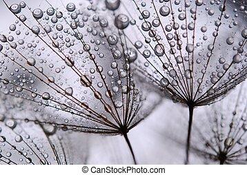 одуванчик, seeds