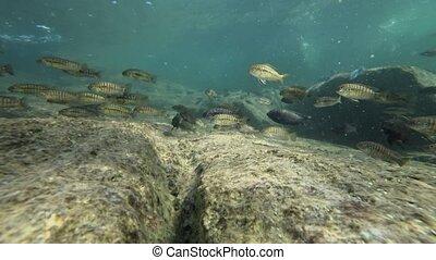 озеро, малави, красочный, fishes