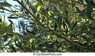 оливковый, зеленый, дерево