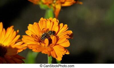 оранжевый, ноготки, пчела