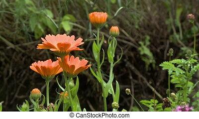 оранжевый, ноготки, plants