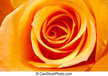 оранжевый, роза, 3