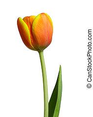 оранжевый, тюльпан, -, красный