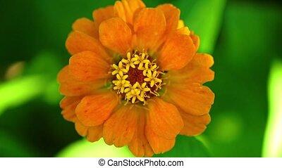 оранжевый, цветок, цинния, метраж, bokeh, один, один, фон