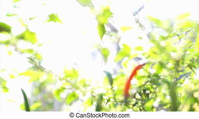 органический, острый, кайенский перец, красный, перец чили