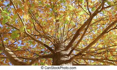 осень, дерево, кленовый