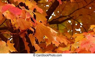 осень, кленовый, дерево