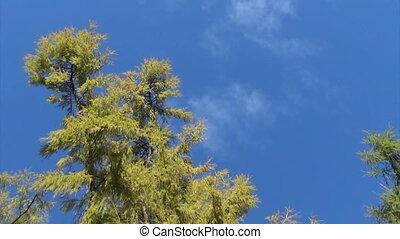 осень, лиственница, дерево, небо