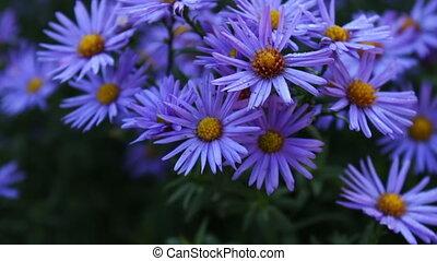 осень, цветы, сад