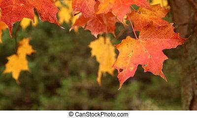 осень, leaves, blowing, дерево, кленовый