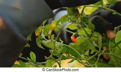 перец чили, picking, seeds, farmers
