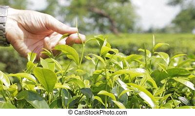 плантация, чай, крупный план
