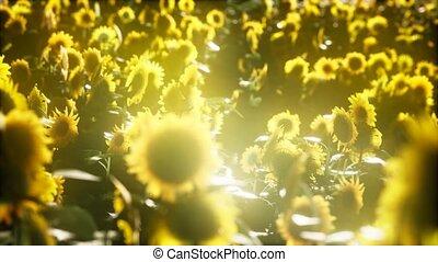 поздно, лето, sunflowers, blooming