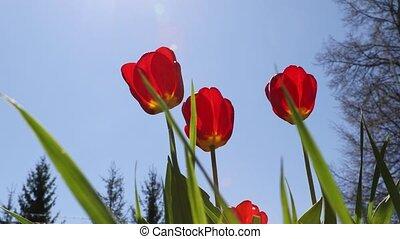 поколебать, ветер, tulips, цветы, весна, красный