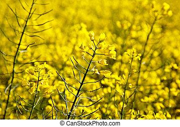 поле, весна, желтый, изнасилование