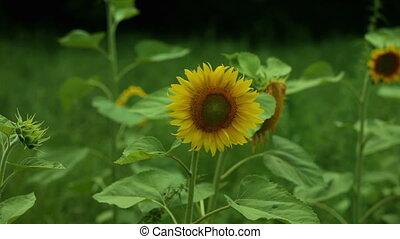 поле, желтый, подсолнечник, день
