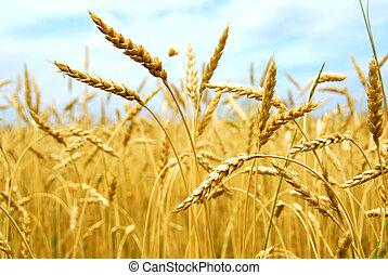 поле, зерно