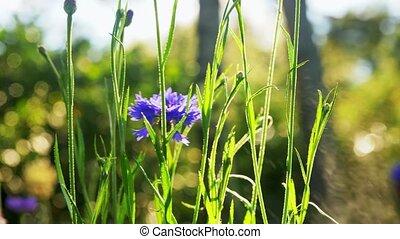 поле, красивая, цветы, лето, сад