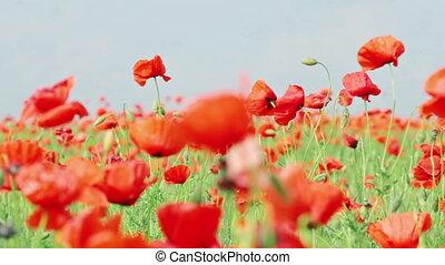 поле, красный, poppies