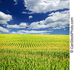 поле, кукуруза