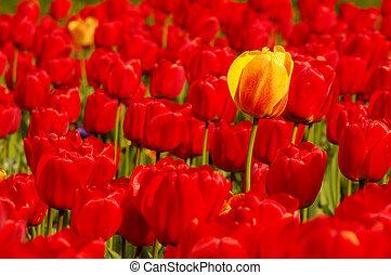 поле, один, красный, желтый, тюльпан
