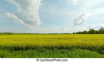 поле, рапсовое, blooming