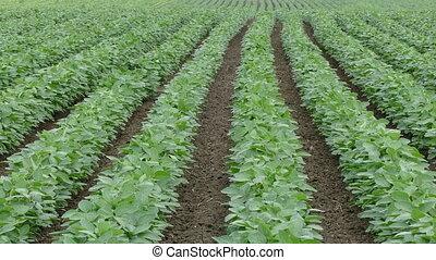 поле, растение, сельское хозяйство, соя