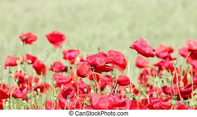 поле, цветок, poppies, природа