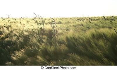 поле, ячмень